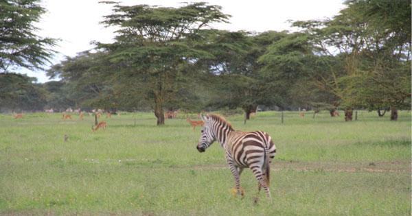 在肯尼亚拯救斑马是怎样一种体验?
